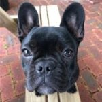 French Bulldog Review